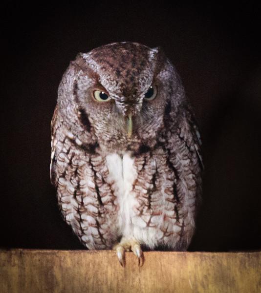 Sreech Owl, Green Cay