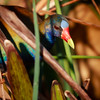 Purple Gallinule, Green Cay
