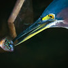 Green Heron with fish, Green Cay