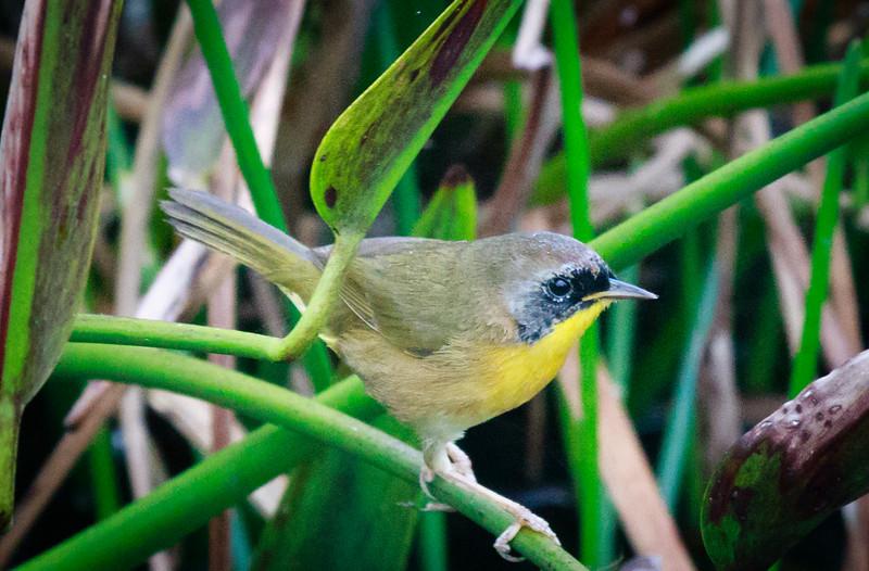 Yellow Throat, Green Cay
