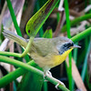 Yellow Throat, Green Cay