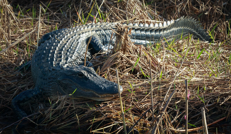 Resting Gator