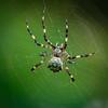 Spider, Wakodahatchee