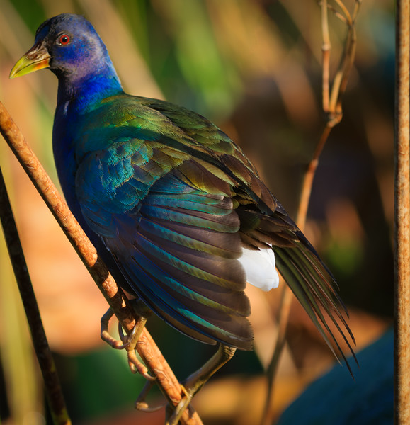 Gallinule, Green Cay