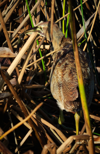 American Bittern with fish, Green Cay