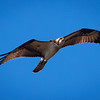 Osprey in flight, Green Cay