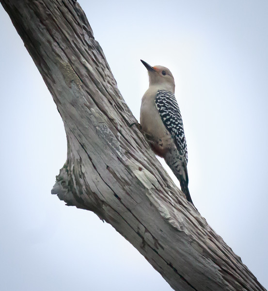 Red-bellied Woodpecker, Green Cay