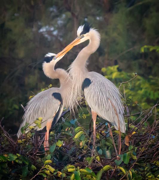 Heron Love, Wakodahatchee
