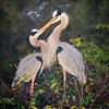 Heron Love, Wakodahatchee