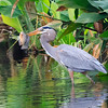 Heron with fish, Wakodahatchee