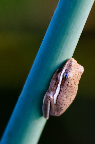 Reed Frog, Wakodahatchee