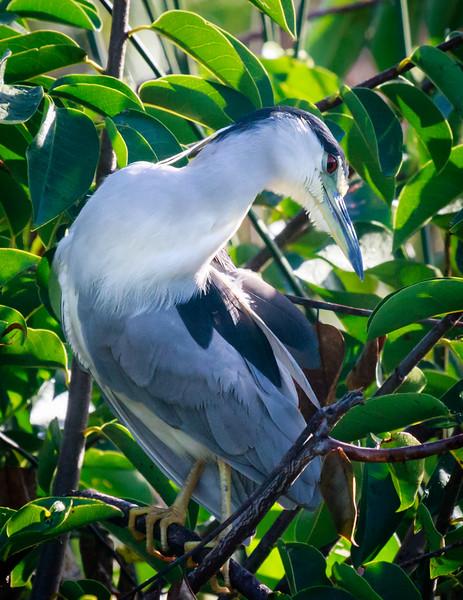 Black-crowned Night Heron, Wakodahatchee