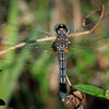 Dragon Fly, Loxahatchee