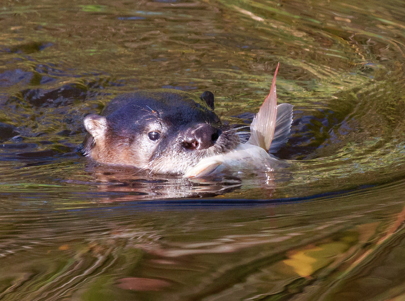 Otter with fish, Wakodahatchee