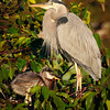 Blue Heron with chick, Wakodahatchee