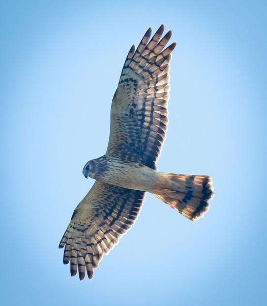Red Shoulder Hawk in flight, Geen Cay