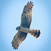 Red Shoulder Hawk in flight, Geen Cay