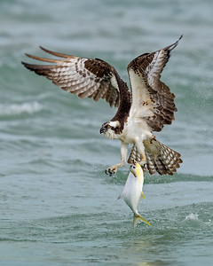 Osprey's Fishing