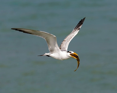 Royal Tern Fishing