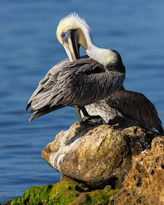 Brown Pelican Preening