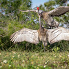 Wild Majestic Florida Sandhill Cranes Mating at Viera Wetlands