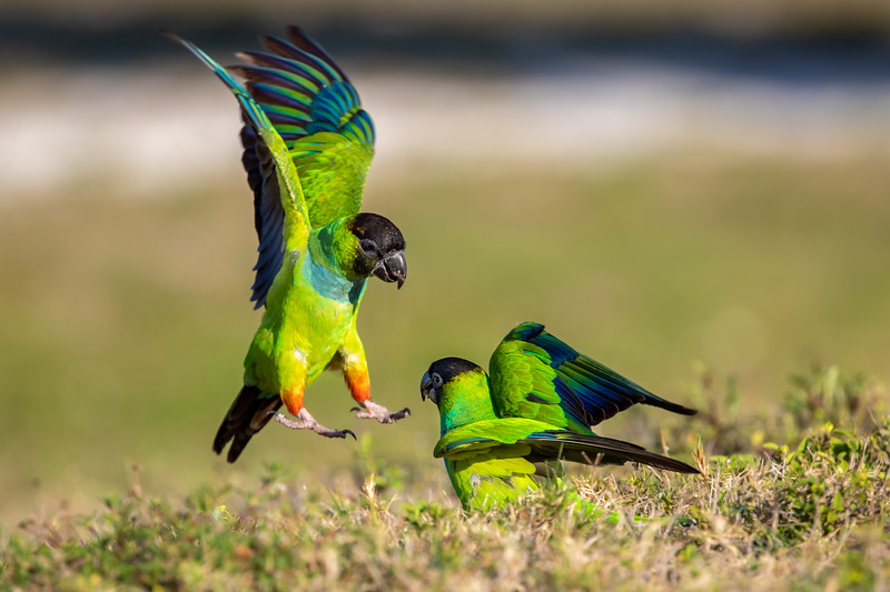 Wild Nanday Parakeets competing for ground seeds at Fort De Soto Island. These two were among a flock of 20-25 Nandays hovering near hollowed-out tree stumps.
