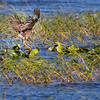 Wild Snail Kite plunges feet-first to capture Apple Snail at Lake Kissimmee