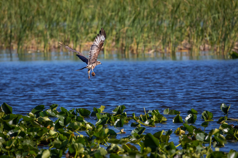 Wild Snail Kite captures Apple Snail with Talons at Lake Kissimmee. Diet is almost exclusively Apple Snails!