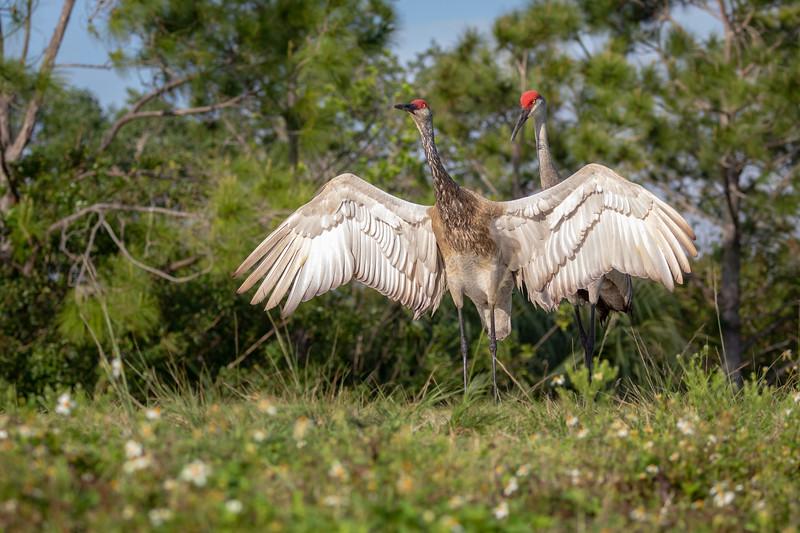 Wild Majestic Florida Sandhill Cranes Mating Dance at Viera Wetlands
