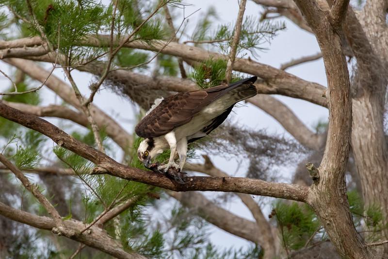 Wild Osprey at Lake Hancock