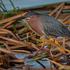 Wild Green Heron at Viera Wetlands
