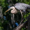 Wild Great Blue Heron Perched and Ready to Ambush Prey