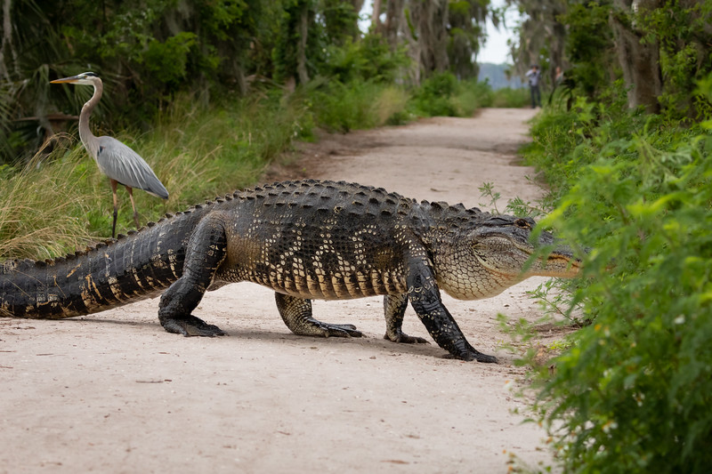 Huge Wild Alligator crossing berm from Lake Hancock into Swamp