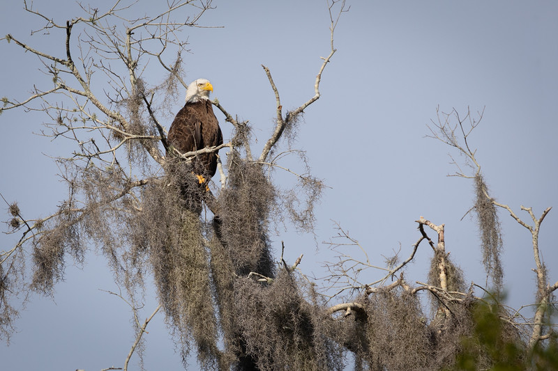 Wild Bald Headed Eagle Perched near Lake Hancock