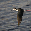Wild Black-Necked Stilt