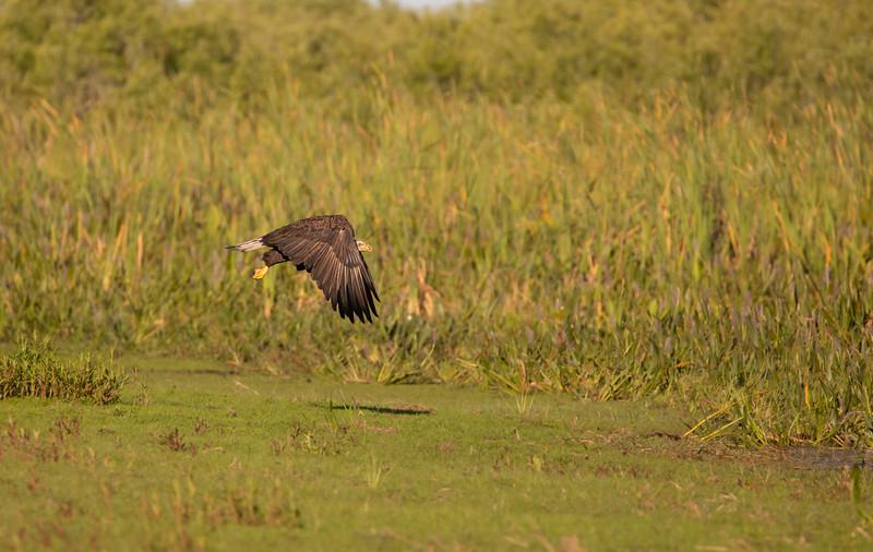 Wild Bald Eagle Blast-Off at Lake Kissimmee Marsh