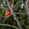 Wild Painted Bunting at Viera Wetlands