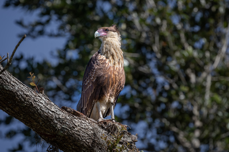 Wild Immarture Crested Caracara near Lake Kissimmee