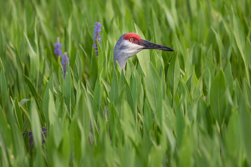Wild Florida Sandhill Crane at Viera Wetlands