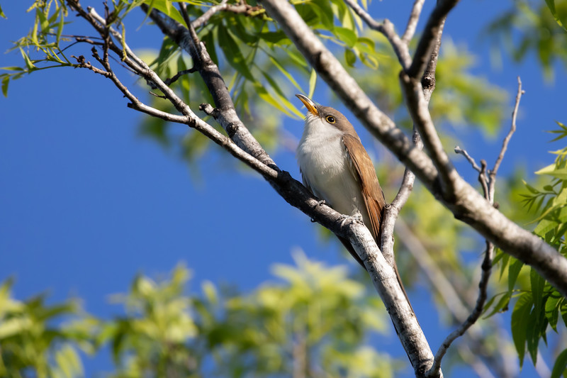 Wild Yellow-Billed Cuckoo perched momentarily at Fort De Soto Island, Florida