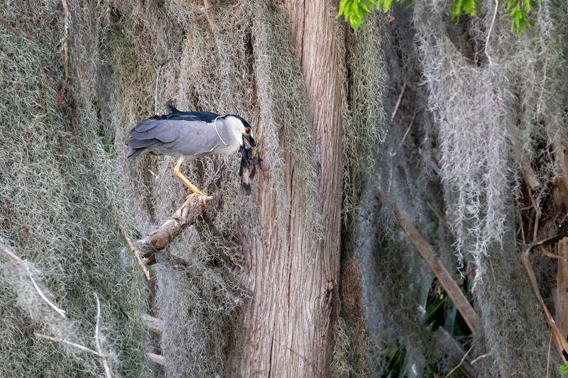 Wild  Black Crowned Night Heron captures Catfish on Lake Hancock Shore