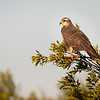 Wild Snail Kite Basking in Early Morning Sun at Lake Kissimmee