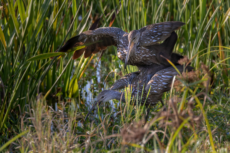 Wild Limpkins Mating at Viera Wetlands
