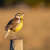 Wild Meadow Lark Singing in Morning Glow along Fence Row on Joe Overstreet Road near Lake Kissimmee