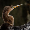 Wild Anhinga on shore of Lake Hancock in Florida