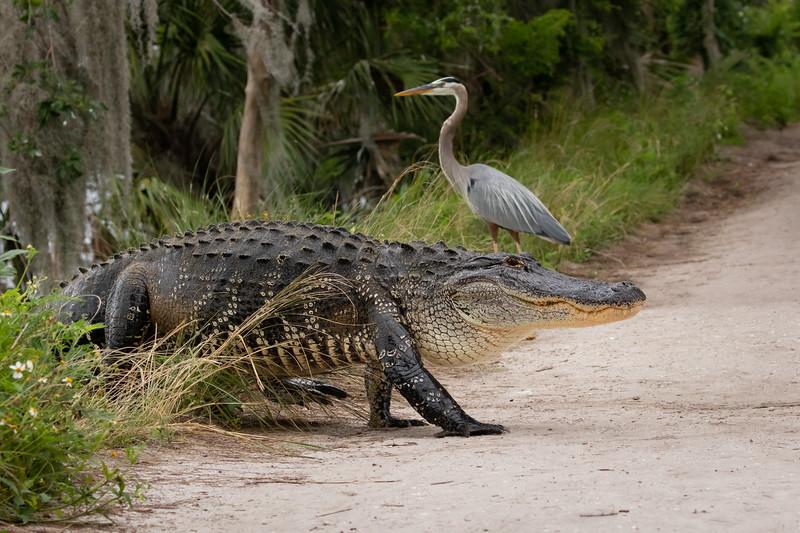 Huge Wild Alligator crossing berm from Lake Hancock into Swamp