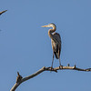 Wild Great Blue Heron in Early Morning Light