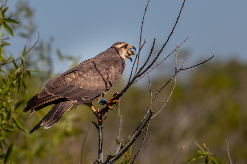 Wild Snail Kite swallows Apple Snail after using special shaped bill to extract meat from shell at Lake Kissimmee.