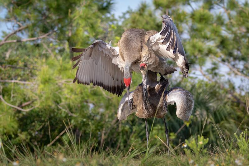 Wild Majestic Florida Sandhill Cranes Mating at Viera Wetlands