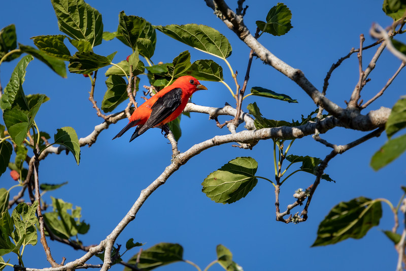 Wild Scarlet Tanager feeding on Mulberrys at Fort De Soto